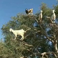 I always wondered where goats came from! Eu sempre me perguntei de onde vieram as cabras! Funny Animal Videos, Cute Funny Animals, Animal Memes, Funny Cute, Super Funny, Baby Animals Pictures, Funny Animal Pictures, Animals And Pets, Laughing Funny