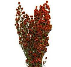 Stirlingia Orange, for large arrangements