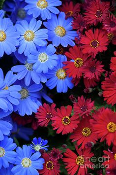 Florists Cineraria Flowers by Tim Gainey Florists, Cauliflower, Beautiful Flowers, Roses, Gardens, Water, Plants, Flowery Background, Simple