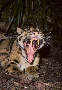 Clouded Leopard is a modern day Mini Sabertooth http://ift.tt/2EO4beH