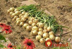 Bohatú úrodu budete mať mať aj v ťažších rokoch! Planting Vegetables, Growing Vegetables, Christmas Decorations To Make, Christmas Diy, Gladioli, Clever Diy, Garden Paths, Flora, Gardening