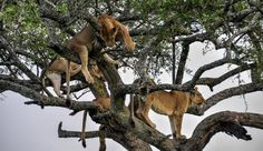 Tree-climbing lions of Lake Manyara near Lemala Manyara Safari Camp