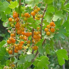 Ribes aureum - Golden Currant - Currant (Gooseberry) Family - Early - Colorado Wildflower - Delicate lemon-yellow flowers show brightly in early spring-green foliage. The flowers are followed by golden, then orange, then red, juicy and very tasty berries.