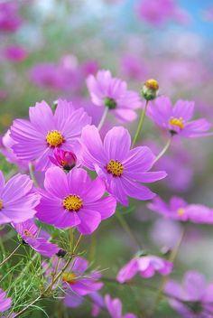 Michigan roadside flowers pink fuzzy - Google Search