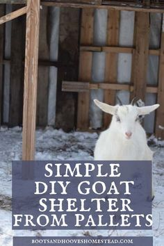 Living on a homestead or farm and need a simple to make, inexpensive DIY home project for your homestead animals? This simple DIY goat shelter is made with pallets, and will keep your goats warm for the winter!