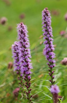 Liatris is naturally resistant to heat and drought and is available in pink purple or white flowering varieties. Liatris is naturally resistant to heat and drought and is available in pink purple or white flowering varieties. Line Flower, Flower Show, Hardy Perennials, Flowers Perennials, Planting Bulbs, Planting Flowers, Flowers Garden, Moss Phlox, Cranesbill Geranium