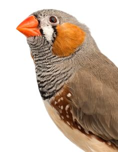 Female zebra finches (Aeniopygia guttata) are attracted to males with the brightest beaks because they are the healthiest birds. Males of this central Australian species that have the brightest red and orange beaks get the highest levels of carotenoid nutrients from the foods they eat - photo Credit: Life On White/Getty