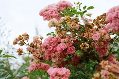 wilting rose bushes at Kew