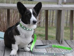 Pet Safety Pinterest Contest: Light Up The Night and Pin To Win! Brodie #corgi