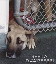 Urgent Dogs of Miami Seite gefällt dir · 18 Std. · SHEILA ID #A1756831 This girl spends hours with her heat sticking out of her kennel in hopes someone comes to rescue her. She is a beautiful BELGIUM MALINOIS MIX She is around 4 years old and came in as a stray on January 31st/ 2016 Miami Dade https://www.facebook.com/urgentdogsofmiami/photos/pb.191859757515102.-2207520000.1456847827./1140159396018462/?type=3&theater