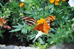 Here' some more beautiful flutterbys
