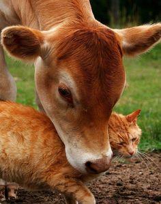 cow loves cat :)