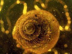 巻貝、琥珀の中の古代生物