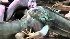 Iguanas Ranas, Mexico https://youtu.be/U28_Z0CGNP8