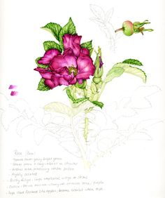 Lizzie Harper step by step of botancial sketchbook illustration of a rose step 16