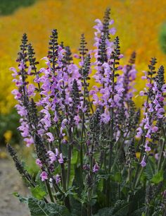 Pink Dawn Salvia is a colorful perennial that produces cotton candy pink flower spikes atop mounded, aromatic foliage. Lovely when planted in drifts. Attracts butterflies and hummingbirds.