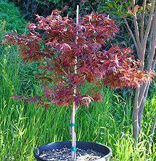 Aconitifolium Aratama Japanese Maple  pacificcoastmaples.com