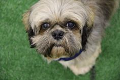 """Here is an update from Teddy's new family:  """"Teddy is absolutely perfect! He may be eleven years old but he keeps our two-year-old Shih Tzu very busy! Teddy has already learned the ramp to get up on the bed and sofa and loves when his dad picks him up and places him on his chest.  Teddy is wonderful and fun and we could not have hoped for a better addition to the family. Thank you, National Mill Dog Rescue!""""  #adoptdontshop #puppymilldog #puppymills #adoption #puppymillsurvivor #nat"""