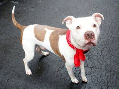 Manhattan Center BULLWINKLE - A1031169 *** AVERAGE HOME *** HELPER DOG *** MALE, WHITE / BROWN, AM PIT BULL TER, 4 yrs OWNER SUR - EVALUATE, NO HOLD Reason NO TIME Intake condition EXAM REQ Intake Date 03/24/2015 https://www.facebook.com/photo.php?fbid=983983601614519