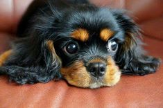 Gorgeous Black & Tan Cavalier King Charles Spaniel - looks so much like my basil down to that little white chin!