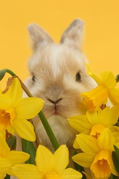 Baby bunny among daffodils on yellow background Cute Animal Photos, Animal Pictures, Animals Photos, Cute Baby Bunnies, Cute Babies, Rabbit Wallpaper, Yellow Animals, Baby Yellow, Cute Little Animals