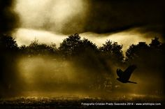 Peuco (Rough-legged hawk) at Dawn by Chilean Photographer Cristian Prado Saavedra - www.artetropia.com by #Cristian_Prado_S