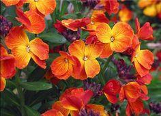 Wallflower - fragrant   #perennial #flower