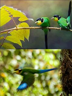 Save Our Green » Long-tailed Broadbill