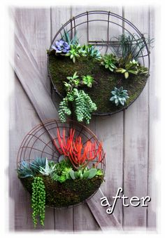 Old fan cover + fine chicken wire mesh + succulents = fabulous succulent wall decor