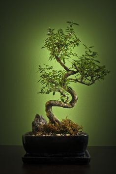 Bonsai needs delicate care and can challenge some green thumb skills