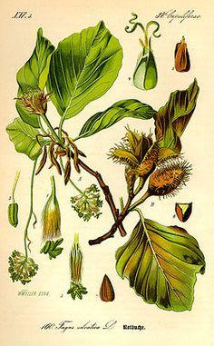 Buk lesní – Wikipedie