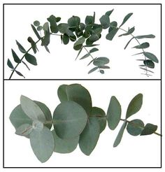 eucalyptus - a few sprigs of eucalyptus in a vase can give your home an energizing, uplifting scent. The smell of eucalyptus also has medicinal properties that can help with colds, congestion, and allergies. Fresh eucalyptus will last for 20 days or longer if you rinse and then cut the stems underwater. To dry eucalyptus, bind stems of a few sprigs and hang upside down in a dry and well-ventilated area.
