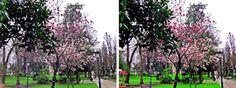(FOTO EN 3D. By Valentín Enrique). Magnolio. Parque de San Francisco, Oviedo. Principado de Asturias. Spain.