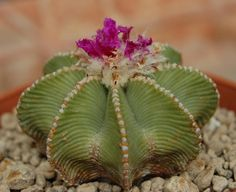 Cactus Flower, Fasion, Plant Leaves, Flora, Succulents, Herbs, Surat Thani, Plants, Spices