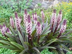 Eucomis comosa - aka:  Variegated Pineapple Flower, or Pineapple Lily 'Sparkling Burgundy'