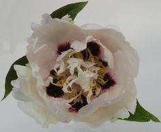 White Chrysanthemum Chinese Tree Peony Cricket Hill Garden