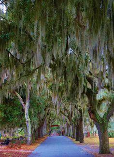 Live Oak (Quercus virginiana) allée, Coastal Georgia Botanic Gardens