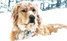 """My golden retriever Cooper loves the snow,"" says Tom Heller. country-magazine.com"