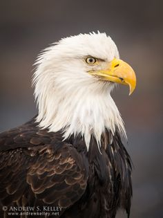 Bald Eagle Profile by Andrew Kelley on 500px