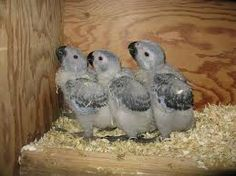 African Grey babies are so much fun to feed