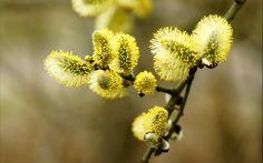 ramură, salcie inflorita, primăvara, macro