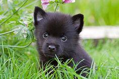 schipperke dog puppy