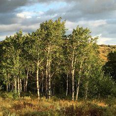 Morning on the Aspens #wasatchcatchenatforest #backcountry #utah #utahhereicome #iluvutah