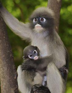 Dusky Langur mom with baby
