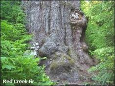 Image result for RED CREEK FIR TRAIL Trail, Plants, Red, Image, Plant, Planets