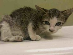 ***TO BE DESTROYED 09/25/16***SEVEN WEEK OLD SWEET ANGEL NEEDS FOSTER--MAY HAVE FRACTURED HIND LEG! Zahavi is an adorable little angel who desperately needs YOU! This great little gal is a kind, social kitten who tolerates all petting and handling. She may have a fractured hind paw and needs follow up vet care along with a loving foster home to recup in. Can you be the kind purrson to open your heart and home to this little munchkin? All medical expenses are covered when you foster. So…