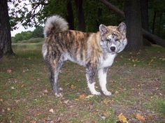 Brindle akita! even better!
