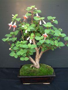 Fuchsia bonsai!