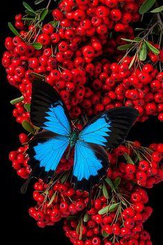 BLUE BUTTERFLIES: Blue Butterfly on Parancathia