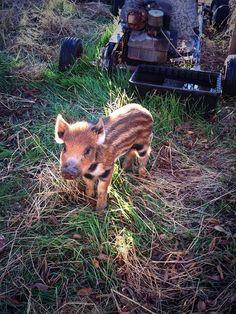 cute baby animals boar